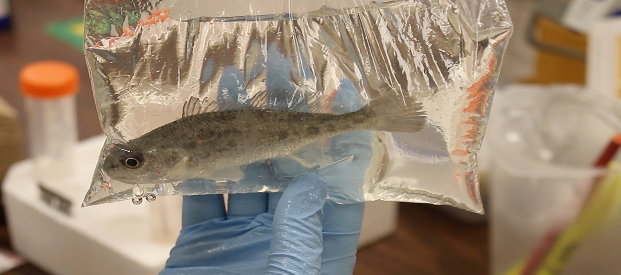 Red drum with red dye injected for identifying markers