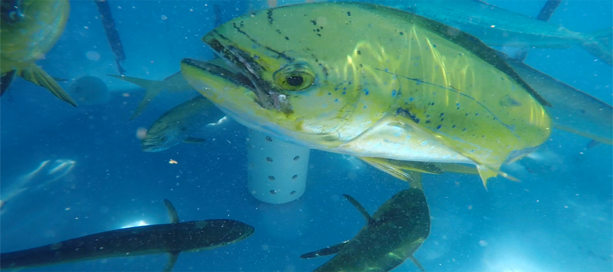 Mahi in holding tank during broodstock trip